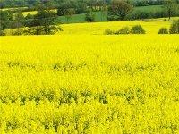 Прогнозы урожая рапса в Европе в 2012 году пессимистичные