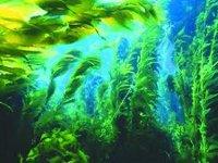 Следующая область применения водорослей - производство биополимеров