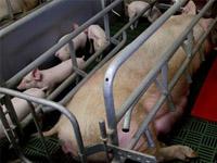ТГУ предложил томскому свинокомплексу превращать биоотходы вэнергию