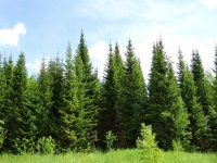 Вгородских лесах Перми планируется создать питомник длявыращивания ценных пород деревьев