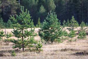 НАЦПРОЕКТ «ЭКОЛОГИЯ»: вКарелии перевыполнен план поискусственному лесовосстановлению