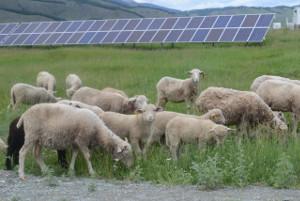 Солнечные электростанции приспособили подвыпас горных овец