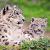 WWF примет участие вМеждународном форуме вКыргызстане посохранению снежного барса иего экосистем